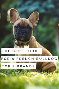 The Best Food for a French Bulldog A Look at the top 7 brands! Keep your furry family members healthy as can be with the best dog food for french bulldogs, all lined up and explained right here! Be is part of French bulldog puppies - Teacup French Bulldogs, Merle French Bulldog, Blue French Bulldog Puppies, French Bulldog Tattoo, French Bulldog Names Girl, Cute French Bulldog, French Bulldog Information, French Bulldog Wallpaper, French Bulldog Full Grown