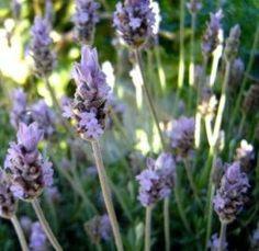 Chá de alfazema - Indicações e benefícios desta infusão - Chá Benefícios
