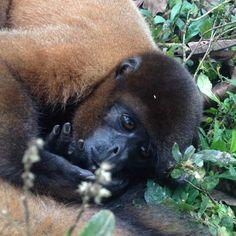 Volunteering with incredible Ecuadorian wildlife Primates, Monkeys, Ecuador, Wildlife, The Incredibles, Animals, Rompers, Animales, Primate