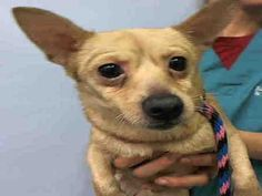 PULLED BY POSH PETS  12/22/15  - TO BE DESTROYED - 12/22/15 - SWEAY - #A1060831 - Urgent Manhattan - MALE TAN CHIHUAHUA SH MIX, 2 Yrs 5 Mos - STRAY - EVALUATE, NO HOLD Intake 12/17/15 Due Out 12/20/15 - HAS ROPE BURN AROUND NECK - ANXIOUS