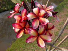 Sai Thong plumeria | Flickr - Photo Sharing!