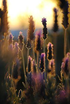 Sunset Lavender