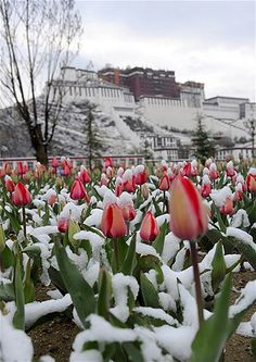 Image: Snow-covered tulips below the Potala Palace in Lhasa, Tibet, on April 17 (© Chogo/Xinhua/Zuma Press)