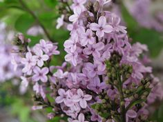 How To Create The Ultimate Butterfly Garden - This Old House - Common Lilac (Syringa vulgaris) Garden Shrubs, Lush Garden, Syringa Vulgaris, White Flower Farm, Lilac Flowers, Cool Plants, Planting Flowers, Flower Gardening, Gardens