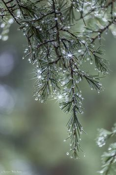 nature / Pine Branch On Rainy Day Winter Photography, Nature Photography, I Love Winter, Winter Colors, Pine Branch, All Nature, Autumn Nature, Light Spring, Water Droplets