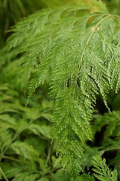 Dvallia fejeensis (Rabbit's Foot Fern) - Flickr - Photo Sharing