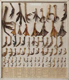 RÉPERTOIRE des membres posterieurs de gallinacés, ansériformes et autres volatiles 52 x 45,5 cm
