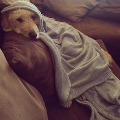 Feeling extra cozy tonight! #goldendoodle #goldendoodlesofinstagram #doodle #doodlelove #doodletales #bestwoof #ruffpost #clubdoodle #topdogphoto #lacyandpaws #buzzfeedanimals #photos4ellen #dogsofinstagram #myoklahoma #excellent_dogs by alan_goldendoodle