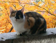 Determining Your Cat's Breed: Calico Cats Profile