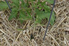 Jeune pied de tomate - Paillage de paille