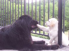 dog-breeds - N - Newfoundland - Page 11 Big Dogs, Dogs And Puppies, Doggies, Giant Dogs, Dog Lover Gifts, Dog Lovers, Newfoundland Puppies, Dog Signs, Family Dogs