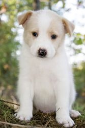 Tucker~ is an adoptable Golden Retriever Dog in Pearl River, NY. Tucker is a sweet little 8 week old male Husky/Golden Retriever puppy surrendered to our rescue in TN. His mother is a Husky, and his f...