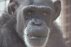 Foxie at Chimpanzee Sanctuary Northwest