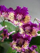 Streptocarpus plant - SASHENKA - beautiful! - Russian Variety