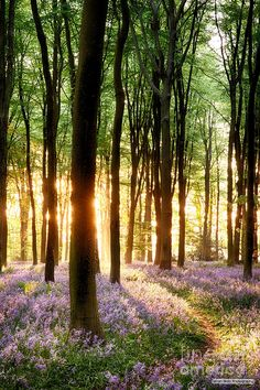 Bluebells in sunrise light. Bluebell sunrise in long tree shadows portrait view , Beautiful World, Beautiful Places, Landscape Photography, Nature Photography, Sunrise Photography, Shadow Portraits, 3d Texture, Tree Forest, Forest Light