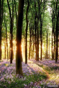 ✯ Bluebells In Sunlight