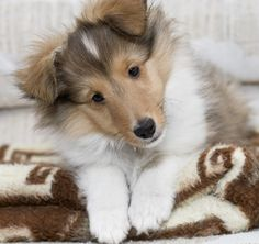 I love shelties!