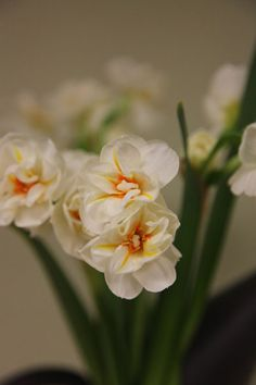 Buy double daffodil bulbs Narcissus 'Sir Winston Churchill': Delivery by Crocus