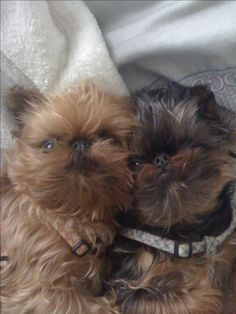 Brussels griffon-twinsies These are exactly what I want!!! so precious