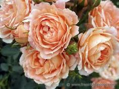 Roses no matter what colour are beautiful