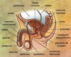 39 Ideas De Sistemas Reproductores Sistema Reproductor Aparato Reproductor Aparato Reproductor Femenino