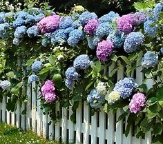 hydrangea growing through a white picket fence..