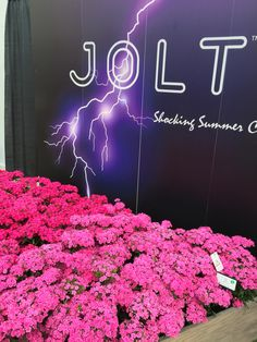 new Jolt Dianthus for landscape and large containers
