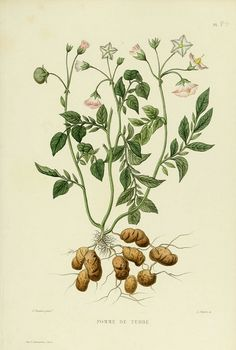 solanum tuberosum - high resolution image from old book.Size in pixels: Illustration Inspiration, Pen Illustration, Potato Tattoo, Fruit Trees In Containers, Impressions Botaniques, Illustration Botanique, Garden Journal, Tree Photography, Gravure