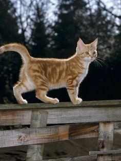 cute kitten taking a walk along the fence.