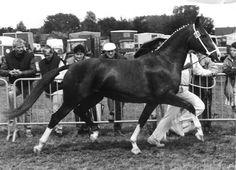 Jilady (Eusebio x Nilady v. Irak) als driejarige kampioen op de Dag van het Gelders Paard in Hengelo (Gld).