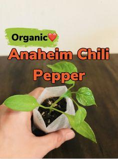 Honeydew Plant, Cucumber Plant, Buy Flowers Online, Buy Plants Online, Growing Herbs, Growing Vegetables, Organic Herbs, Organic Gardening, Black Bean Plant