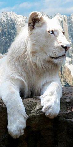 snowy white lion...i am a lioness