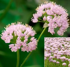"""Allium 'Pink Pepper' 