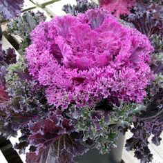 This All America Selections garden award winner has been recognized as an excellent breeding achievement. The unique shiny leaves give a more intense, vivid col Fall Wedding Bouquets, Autumn Wedding, Red Kale, Ornamental Cabbage, Types Of Plants, Zinnias, Chrysanthemum, Autumn Inspiration, Green Leaves