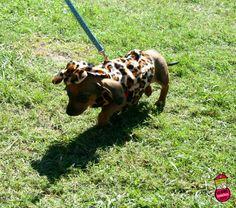 It's a wee jaguar! | First Coast No More Homeless Pets | #dogtoberfest2014 #fcnmhp