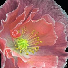 Double Pink Poppy. Shared by www.nwquiltingexpo.com #nwqe #flower #garden