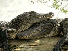 Save Wildlife Habitats Animals Of The DAyThanks Crocodile Marin, Crocodile Animal, Crocodile Dundee, Les Reptiles, Reptiles And Amphibians, Crocodile Wallpaper, Krokodil Tattoo, Beautiful Creatures, Animals Beautiful