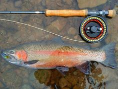 Pretty rainbow trout on the fly.