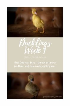 How the ducklings are doing, how we're caring for them, and how much joy they bring. #pendletonfamilyfarm #ducks #ducklings Raising Quail, Raising Ducks, Raising Chickens, Backyard Ducks, Backyard Farming, Chickens Backyard, Pekin Ducklings, Duck House, Cutest Thing Ever