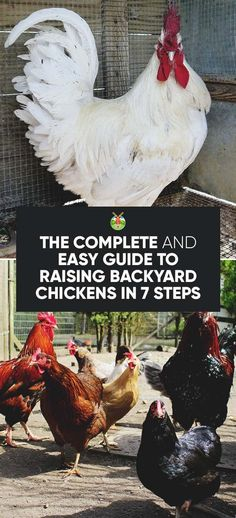 The complete guide to raising chickens is perfect for beginners, explaining food, healthcare, hygiene and the different breeds for meat and laying eggs. Best Egg Laying Chickens, Raising Backyard Chickens, Baby Chickens, Backyard Chicken Coops, Keeping Chickens, Diy Chicken Coop, Chicken Ideas, Chicken Coup, Backyard Farming
