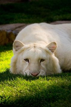 Albino (not a white) Tiger I Love Cats, Big Cats, Cats And Kittens, Beautiful Cats, Animals Beautiful, Animals And Pets, Cute Animals, Wild Animals, Baby Animals