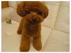 Poodle teddy bear clip