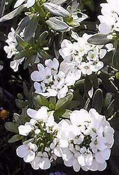 Snowflake Iberis Seeds ★ Evergreen Perennial ★ Drought Tolerant Plant ★ 10 Seeds