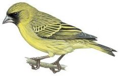 African Citril (Serinus citrinelloides)