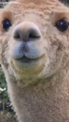Alpacas, Adorable Animals, Funny Animals, Alpaca Pictures, Silly Dogs, Nature Gif, Puppy Love, Have Fun, Character Design