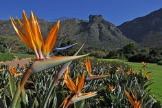 Kirstenbosch National Botanical Garden is acclaimed as one of the great botanic gardens of the world. Few gardens can match the sheer grandeur of the setting of Kirstenbosch, against the eastern slopes of Cape Town's Table Mountain. Kew Gardens, Plantes Alpines, South Africa Holidays, South African Flowers, Crassula, National Botanical Gardens, Gardens Of The World, Le Cap, Table Mountain