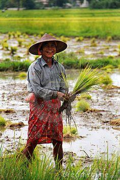 Rice fields - Myanmar