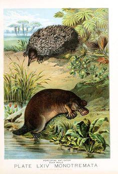 Animal-Wild-Platypus-and-Echidna.jpg (1899×2782)