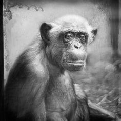 Behind Glass, black and white photographs of primates Lulu, Heidelberg