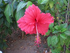 Puerto Rico-love my country and this is My country flower I have tattooed on my left foot !!!